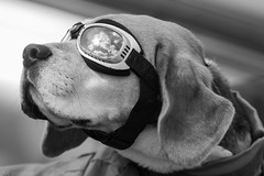 A Dog's Life.. (Steve Cooke-SRAviation) Tags: dog canon flying airport goggles hound civil airbus schipol bassett hollandtrip stevecooke sraviation