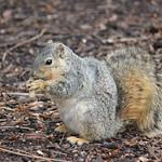 Squirrels at the University of Michigan (March 31, 2015) thumbnail