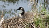 IMG_7189 Canada Goose on Nest (Jon. D. Anderson) Tags: goose canadagoose brantacanadensis brantacanadensismoffitti nisquallynationalwildliferefuge birdsofwashington washingtonbirds