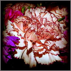 Carnation (* RICHARD M (Over 9 MILLION VIEWS)) Tags: flowers abstract nature beauty petals flora dianthus carnation botany pinkcarnation cutflowers dianthuscaryophyllus variegatedpetals variegatedcarnation varigatedcarnation pinkpalepink varigatedpetals