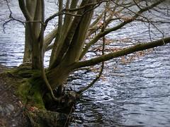 DSCF9055 Boom aan het water (annelies_visser) Tags: water mos boom stam