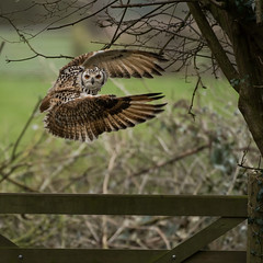Indian Eagle Owl take-off (Mike Ashton) Tags: bird shropshire beak feather talon raptor sps