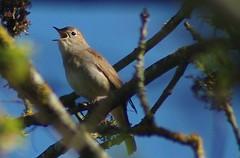 Nightingale - Rossignol
