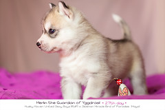 Day 27 Merlin (Emyan) Tags: dog animals puppy puppies husky maya days siberian 27