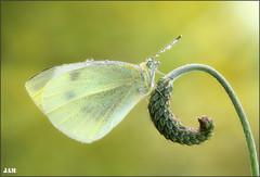 El resplandor de un angel (- JAM -) Tags: naturaleza flower macro nature insect nikon flor explore jam mariposas d800 insecto macrofotografia explored lepidopteros juanadradas