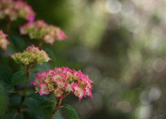 Flowers (janroles) Tags: bokeh england foliage leaves pink nature canoneos400d hydrangea
