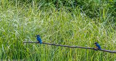9Q6A2842 (2) (Alinbidford) Tags: heron kingfisher muteswan moorhen greyheron brandonmarsh alancurtis pairofkingfishers alinbidford