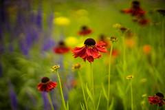 Helenium (tonybill) Tags: flowers gardens july loseleypark miscellaneous nikkor50mmf12ais sonya7 sunshine surrey bokeh