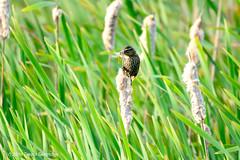 Mmmm!  Dragonflies for breakfast!! (Trevdog67) Tags: female redwingedblackbird hunting marsh wetland dragonflies collecting breakfast cattails perched moncton bird nature animal insect hunter prey newbrunswick nouveaubrunswick canada nikon d7100 sigma 150600mm 14x teleconverter