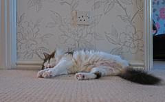 Chilled Out  (Tilly the 3-legged Visitor) Panasonic Lumix LX100 Compact (1 of 1) (markdbaynham) Tags: cat feline tilly 3legged pet cute animal panny panasonic lumix lumixer lx lx100 2575mm f1728 zoom ft fourthird dmc dmclx100 dc variosummilux