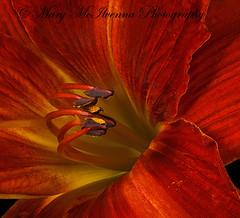 Anzac (Mary McIlvenna Photography) Tags: flora hemerocallisanzac floralart hemerocallis macroflower red