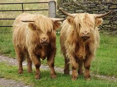 Around  Baslow Edge (freestones999) Tags: baslow derbyshire paths peakdistrict livestock gates