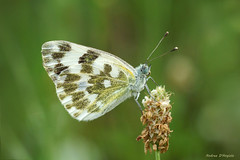 Pontia Edusa (Darea62) Tags: butterfly pontia edusa insect eastern bath white mariposa papillon pieris wings