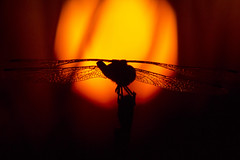 The Helicopter (Anto Camacho) Tags: sunset sun macro sol nature valencia bug landscape dragonfly paisaje helicopter liblula paiporta