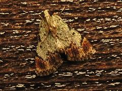 Dimorphic Macalla (magarell) Tags: insect moth nj plainsboro plainsboropreserve middlesexcounty njas newjerseyaudubon dimorphicmacalla epipaschiasuperatalis