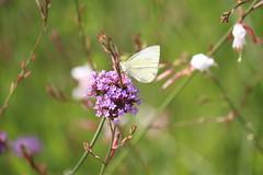 Butterfly (Ludo2937000) Tags: tours la gloriette jardin fleurs insectes