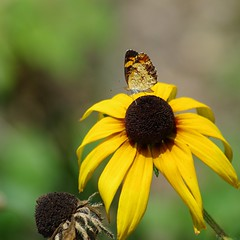 Butterfly on Rudbeckia (Crop) (RaymondDukes) Tags: rudbeckia butterfly macro