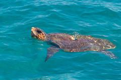 Turtle outside Laganas (emilhallengren) Tags: ocean trip travel animal boat turtle greece seaturtle boattrip zante laganas zakynthos ionianislands carettacaretta