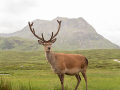 Monarch of the Glen_1050405 (HJSP82) Tags: scotland stag ngc antlers glencoe monarchoftheglen ngs ngg 20160703scotland