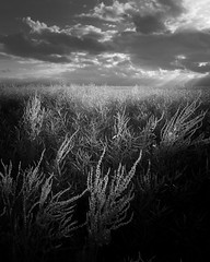 Submerged (jellyfire) Tags: blackandwhite monochrome zeiss canon landscape ir mono weeds infrared crops agriculture ze oilseedrape landscapephotography canon5dmkii distagont3518 zeissdistagont18mmf35ze