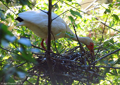 I Can See An Egg! (Kaptured by Kala) Tags: blueeyes eggs brooding aquatic waterfowl waders eudocimusalbus rookery nesting nestbuilding lifer redface incubating breedingseason dallastexas aquaticbird nictitatingmembrane americanwhiteibis largeegg breedingcolors speckledegg ibisegg newspeciesforme ibisnest whiteibisnest smcrookery southwestmedicalcenterbirdrookery adultbreedingamericanwhiteibis adultamericanwhiteibis americanwhiteibisnest whiteibisegg americanwhiteibisegg