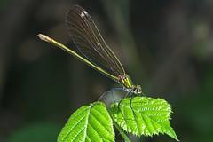 Libe9 (bidueiro) Tags: naturaleza insectos macro macrofotografa