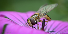 Searching (Baljinder.Gill) Tags: macro nature insect fly nikon bees insects bee naturemacro hoverfly naturephotography macrophotography macroinsect naturewildlife beeonflower beemacro macronature collectingpollen insectphotography