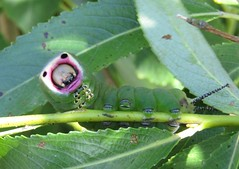 Puss Moth Caterpillar (Mark Walpole) Tags: puss moth old moor rspb caterpillar