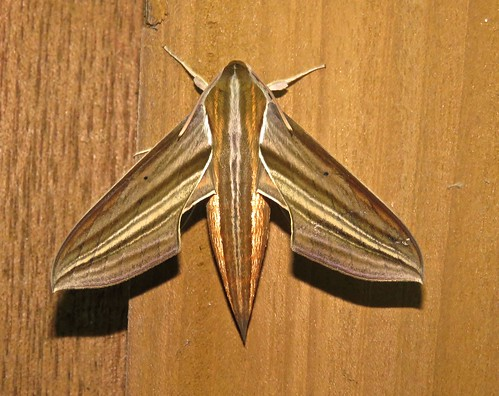 White-edged Hunter Hawkmoth
