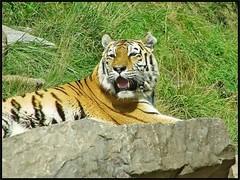 Zoo, in Zurich Switzerland (Tamilpoems (Tamil kavithaigal)) Tags: tiger tiere wald waldtiere zrichzoo zoo zurichfest zurichsee zurich zrich zrichfest schweiz suisse switzerland swissmountains bern geneva glarus mnnedorf interlaken google europe summer animals