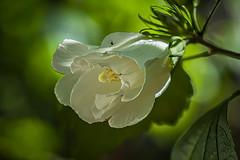 Rose of Sharon (yaz62) Tags: flowersplants july2016 roseofsharon