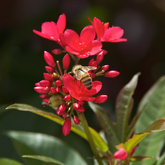 Bees and Blooms (11Jewels) Tags: canon 18200 bees blooms nature macro bradenton fl florida july