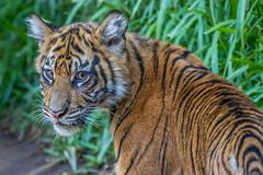 Debbie @ Almost 6 Months (ToddLahman) Tags: debbie joanne teddy tigers tiger tigertrail tigercub canon7dmkii canon canon100400 sandiegozoosafaripark safaripark sumatrantiger babysumatrantiger baby cub escondido