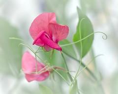 Scented (L E Dye) Tags: sweetpeas alberta canada d5100 floral ledye nikon summer flower