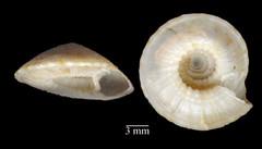 MOL_ 2374_D_discus_6198_01_483x276.gif (MaKuriwa) Tags: mollusca gastropoda architectonicidae discotectonica