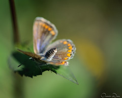 DRL_2790 (romain-dreux-photo) Tags: polyommatusicarus argusbleu butterfly nature canada quebec macro proxy