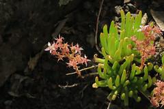 J20160721-0039Dudleya viscidaRPBG (John Rusk) Tags: ebparksok taxonomy:kingdom=plantae plantae taxonomy:superphylum=tracheophyta tracheophyta taxonomy:phylum=magnoliophyta magnoliophyta taxonomy:class=magnoliopsida magnoliopsida taxonomy:order=rosales rosales taxonomy:family=crassulaceae crassulaceae taxonomy:genus=dudleya dudleya taxonomy:species=viscida taxonomy:binomial=dudleyaviscida dudleyaviscida stickydudleya taxonomy:common=stickydudleya