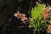 J20160721-0039—Dudleya viscida—RPBG (John Rusk) Tags: ebparksok taxonomy:kingdom=plantae plantae taxonomy:superphylum=tracheophyta tracheophyta taxonomy:phylum=magnoliophyta magnoliophyta taxonomy:class=magnoliopsida magnoliopsida taxonomy:order=rosales rosales taxonomy:family=crassulaceae crassulaceae taxonomy:genus=dudleya dudleya taxonomy:species=viscida taxonomy:binomial=dudleyaviscida dudleyaviscida stickydudleya taxonomy:common=stickydudleya