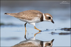 Semipalmated Plover (www.lirongertsman.com) Tags: semipalmatedplover charadriussemipalmatus plover plovers shorebird shorebirds shorebirdmigration shorebirdphotography shorebirding shore shorebirdphotographyworkshop pacific pacificnorthwest pacificcoast pacificflyway migration migrating migratory migratoryshorebird migrant boundarybay delta deltabccanada bc britishcolumbia canada lowermainland greatervancouver metrovancouver vancouver bird birds birding birdphotography birdwatching nature naturephotography natural wild animal animals wildlife wildlifephotography lironsnaturephotographycom canon canon7dmarkii canoneos7dmarkii 7dmarkii fraserriverdelta mud mudflats intertidal canonef400mmf56lusm 400mm