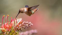 Juicy Meal (PasiKaunisto) Tags: bird birds hummingbird nature naturephotography wildlife wildlifephotography summer california