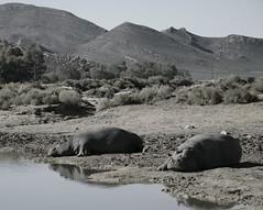 Hypos (martaD7000) Tags: hypo safari