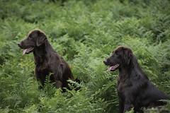 Harris and Canna (Blazingstar) Tags: canna flatcoated retriever liver bracken dartmoor