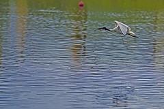 Ibis With Branch (Geoffsnaps) Tags: ibis rookery kybong matildas matildaskybong nikond810 nikon d810 fx water lake birds feathers nikonnikkor300mmf4difedafs nikkor 300mm f4d f4 if ed afs 4 d gitzogm5541carbonmonopod gitzo gm5541 carbon monopod acratechpanoramichead monopodhead acratech panoramic head