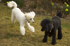 playful poodles (louisa_catlover) Tags: garden nature outdoor mtwilson mountwilson ashridge bluemountains nsw australia winter august 2016 canon eos 60d helios helios442 m42 58mm f2 manual russian vintagelens manualfocus bokeh dof depthoffield dogs poodle miniature white black cute playful playing action alfie charlie