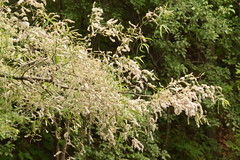 black willow in fruit (ophis) Tags: salicaceae salix salixnigra blackwillow fruit