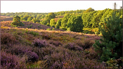 Moorland after sunrise (Foto Martien) Tags: floweringheather bloomingheaths heath heathland moorland moor bloeiendehei bloeiendeheide bloeiendeheidevelden pink palepink rosepink violet roze paars posbank herikhuizerveld natuurreservaat natuurmonument nationaalparkveluwezoom nationalparkveluwezoom natuurmonumenten naturereserve stuwwal zuidelijkveluwe rheden desteeg velp arnhem geotagging geotaggedwithgps geotag carlzeisssony1680 sonyalpha77 a77 slta77v martienuiterweerd fotomartien