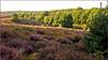 Moorland after sunrise (Foto Martien) Tags: floweringheather bloomingheaths heath heathland moorland moor bloeiendehei bloeiendeheide bloeiendeheidevelden pink palepink rosepink violet roze paars posbank herikhuizerveld natuurreservaat natuurmonument nationaalparkveluwezoom nationalparkveluwezoom natuurmonumenten naturereserve stuwwal zuidelijkveluwe rheden desteeg velp arnhem geotagging geotaggedwithgps geotag carlzeisssony1680 sonyalpha77 a77 slta77v martienuiterweerd fotomartien