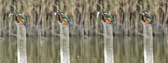 Hungry Kingfisher (John Finney) Tags: kingfisher wildlife fish stodmarsh kent bird post water raining eating vibrant