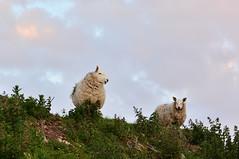 Sheep  on the farm (Joan's Pics 2012) Tags: sheep islay farmanimals wool explore