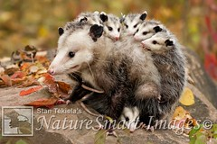 Virginia Opossum mother and babies Tekiela IE6S3092 (Stan Tekiela's Nature Smart Wildlife Images) Tags: mammals vertebrates vertibrate mammalia fur hair terrestrial land animal minnesota unitedstatesofamerica usa naturesmartwildlifewordsandimages stantekiela copyright allrightsreservered stockimage professionalphotographer images wildlife animals nature naturalist wild stockphotos digitalimages critter undercontroledcondtions virginiaopossumdidelphisvirginiana animalia claws creatures critters mammae motherandbabies placentals